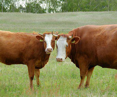 Cows, Look, Grazing, Meadow, Animals