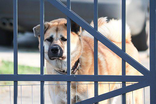 Akita, Dog, Akita Inu, Guard Dog, Pet, Goal, Vigilant