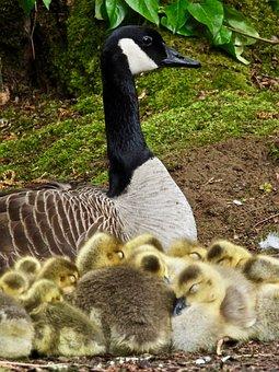 Goose, Goslings, Chicks, Family, Fluff, Birds, Spring