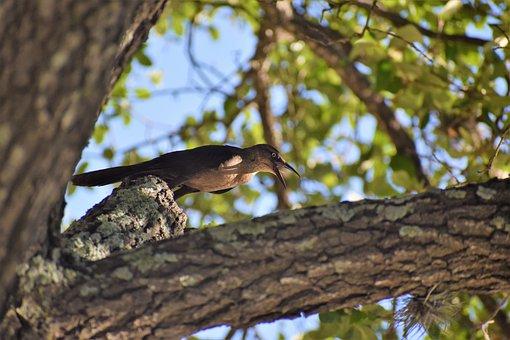 Raven, Chirping, Wild Bird, Song Bird
