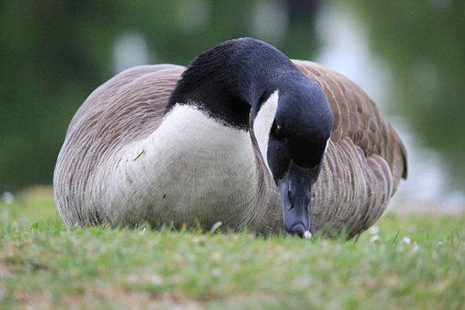 Wild Goose, Grass, Meadow, Eat, Nature, Animal, Bonn