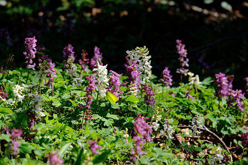 Corydalis, Flower, Blossom, Bloom, Hollow Corydalis