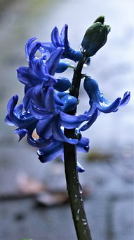 Hyacinth, Plant, Blue Flower, Flowers, Spring, Nature