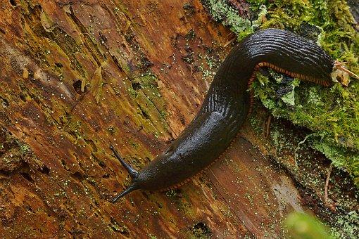 Snail, Large Black Slug, Foraging, Forest, Nature, Wood