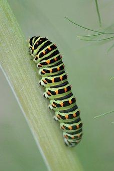 Caterpillar, Rübliraupe, Fennel, Drexel