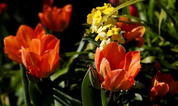 Tulipa Fosteriana Orange Emperor, Tulips, Orange