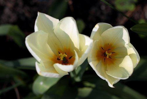 Tulipa Fosteriana Purissima, Tulip, White, Inside