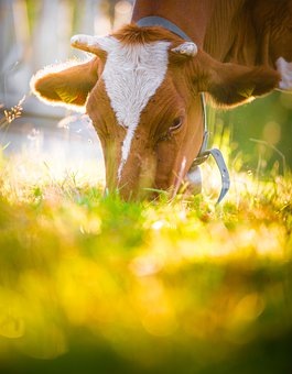 Animal, Cow, Outdoors, Cattle, Livestock, Agriculture