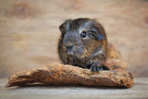 Painting, Image, Guinea Pig, Smooth Hair