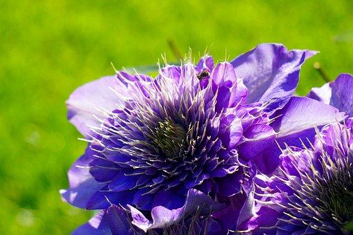 Clematis, Flower, Blossom, Bloom, Nature, Flora