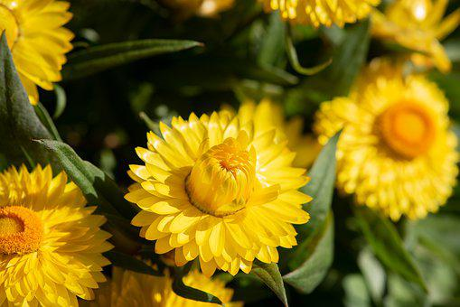 Straw Flowers, Yellow, Flowers, Nature, Summer, Garden