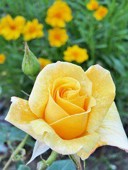 Rose, Yellow, Changes, Blossom, Bloom, Flower, Bud