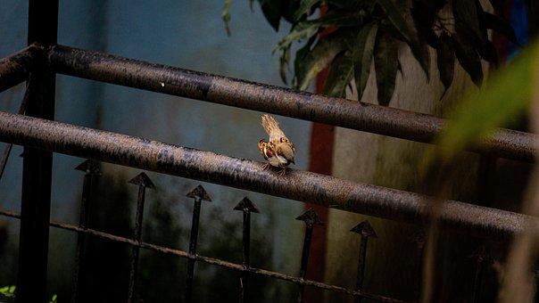 Bird, Rare, Sparrow, Animal, Species