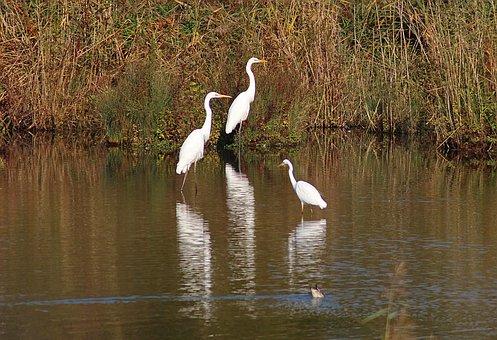 Heron, Lake, Pond, Water, Waterfowl, Nature