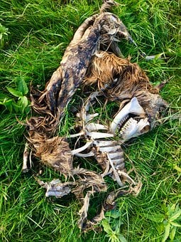 Fox Skeleton, Fuchs, Frame, Bone, Death, Carcass, Tooth