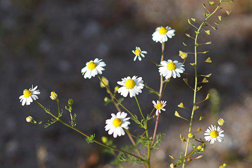 Daisies, Field, Nature, Flowers, Medicine, White