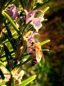 Bee, Rosemary, Pollen, Plant