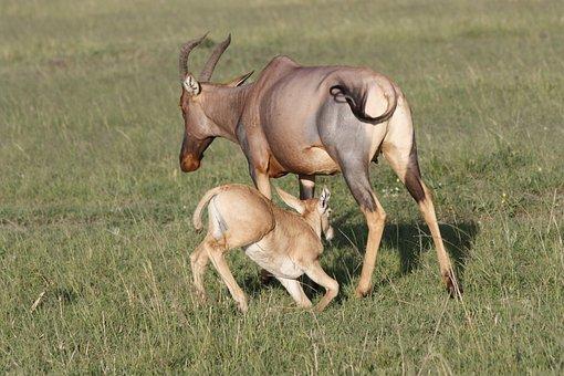 Topi, Calf, Suckling, Masai, Mara, Safari, Kenya