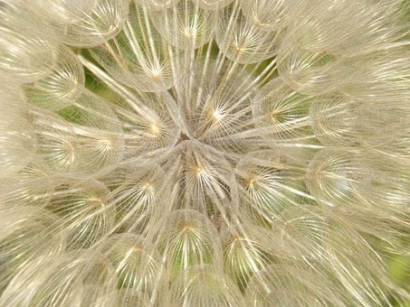 Angelito, Seed, Angelitos, Wind, Tooth-of-lion