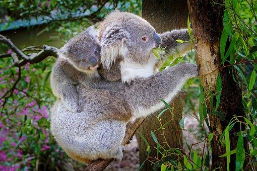 Koala, Australia, Animal, Nature Conservation