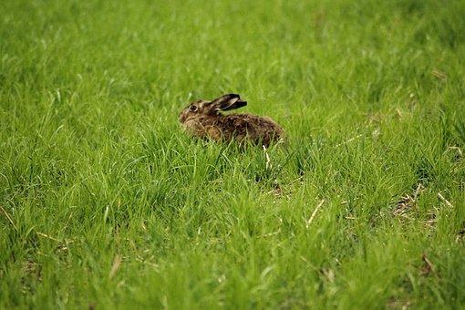 Hare, Lepus Europaeus, Freilebend, Nature, Animals