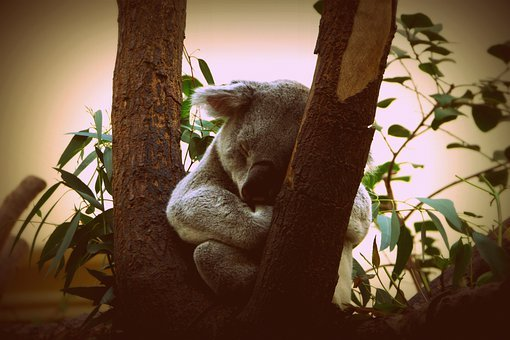Koala, Animal, Nature, Puppy, Little Bear, Australia