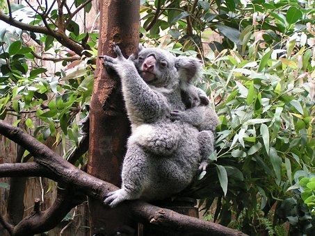 Koala, Baby, Cute, Mammal