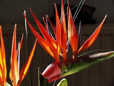 Strelitziaceae, Strelizie, Caudata Greenhouse