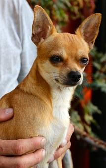 Chihuahua, Dog, Sobel