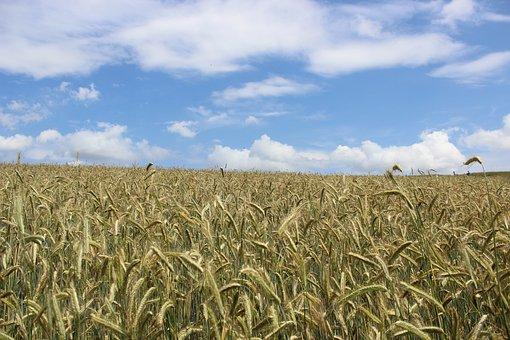 Cornfield, Grain, G, Agriculture, Cereals, Field