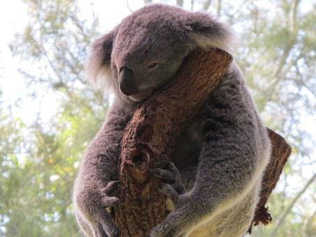 Koala, Koala Bear, Cuddly Animal, Marsupial