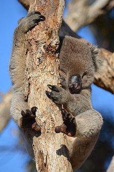 Koala, Fauna, Australia, Animal, Wild, Wildlife