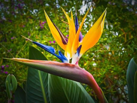 Bird Of Paradise Flower, Caudata, Flower, Blossom
