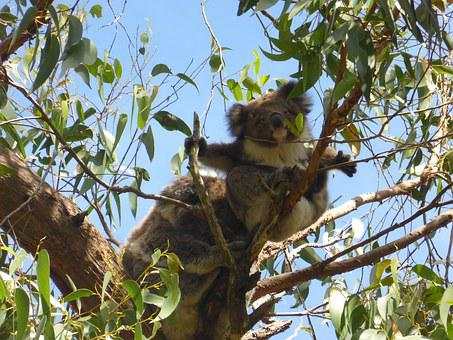 Koala, Gumtree, Australia, Wildlife, Aussie, Cape Otway