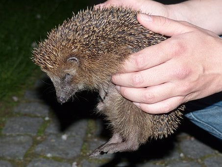 Hedgehog, Animal, Prickly, Keep, Hand, Lift, Detention
