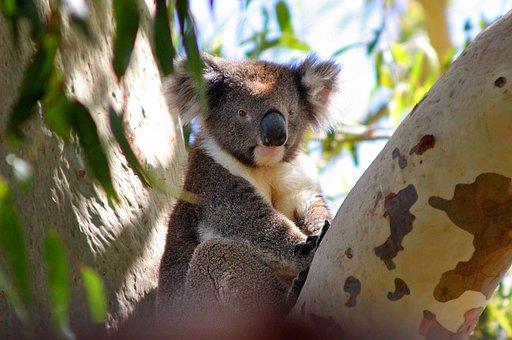 Koala, Australia, Phascolarctos Cinereus, Koala Bear