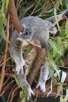 Koala, Phascolarctos Cinereus, Animal, Ashen Koala