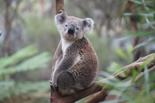 Koala, Australia, Koala Bear, Lazy, Rest, Animal