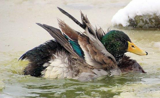 Mallard, Male, Drake, Plumage, Fluffed Up, Colorful