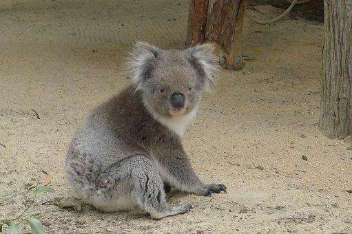 Koala, Perth, Australia, Nature
