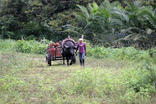 Peasant, Field, Cart, Animal, Worker, Work, Colombia