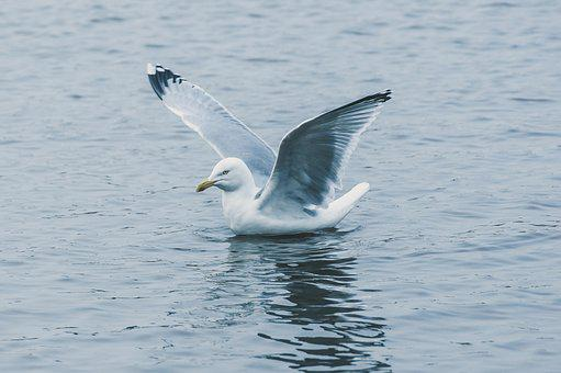 Seagull, Fly, Water, Holiday, Beach, Bird, Sky