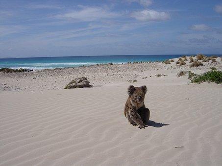 Koala, Beach, Alone, Animal, Bear, Sleaford, Sandhill
