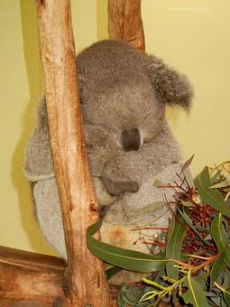 Koala, Austraila, Cute, Sleep, Zoo, Wildlife, Bear
