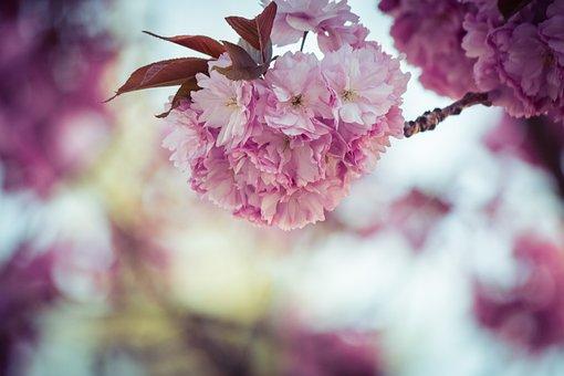 Japanese Cherry, Prunus Serrulata, Tree