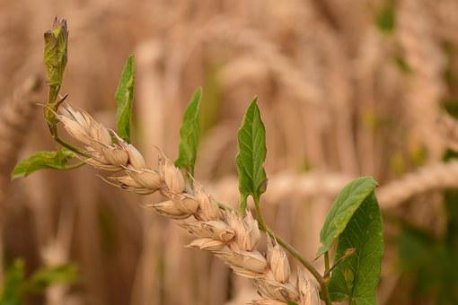 Wheat, Close Up, Weed, Weed Destruction, Agriculture
