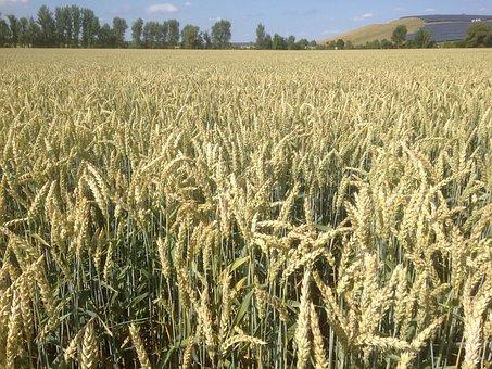 Field, Wheat, Cereals, Grain, Ripe, Spike, Summer
