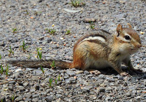 Eastern Chipmunk, Chipping Squirrel, Tamias Striatus