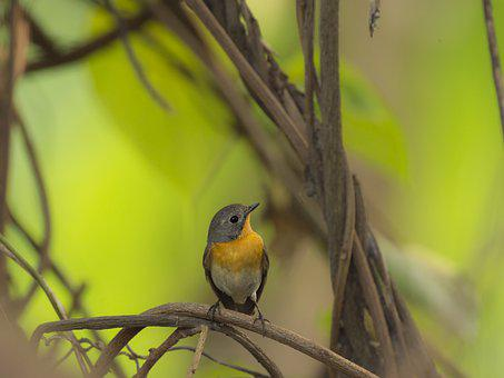 Mugimaki Flycatcher, Female Mugimaki Flycatcher, Bird