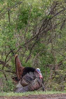 Tags Turkey, Tom, Bird, Gobbler, Gamebird, Thanksgiving